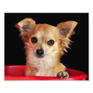 Chihuahua en una impresión roja del cubo 8x10 fotografía