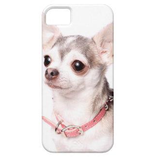 Chihuahua femenina con el cuello rosado iPhone 5 fundas