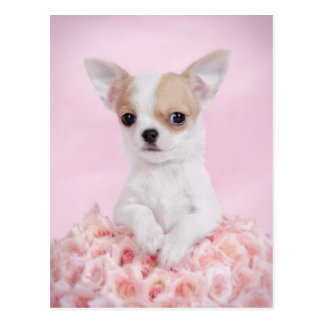 Chihuahua in pink with roses postcard