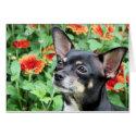 Chihuahua Isabella 41 card