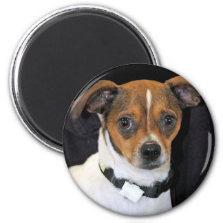 Chihuahua-Jack Russell Terrier Photo Fridge Magnet