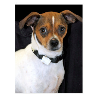 Chihuahua-Jack Russell Terrier Photo Post Card