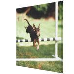 Chihuahua Jumping Hurdle Canvas Print
