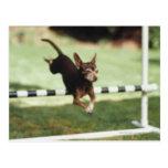 Chihuahua Jumping Hurdle Postcard