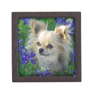 Chihuahua larga de la capa en capos azules caja de joyas de calidad