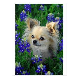 Chihuahua larga de la capa en capos azules postal