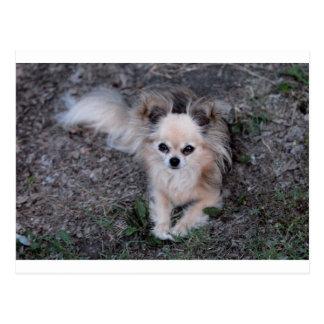 Chihuahua larga de la capa postales
