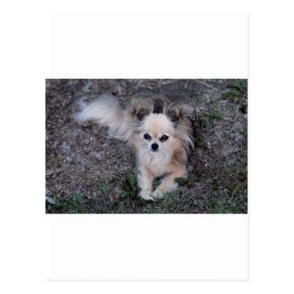 Chihuahua larga de la capa tarjetas postales