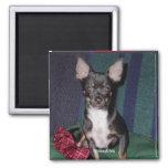 Chihuahua MickeyElvis Refrigerator Magnets