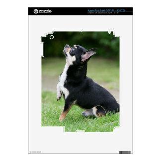 Chihuahua negra y poner crema pegatinas skins para iPad 3