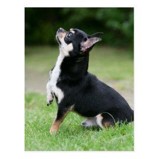 Chihuahua negra y poner crema postales