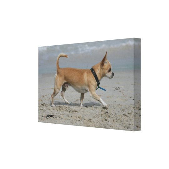 Chihuahua on Beach Canvas Print