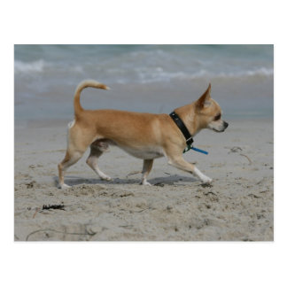 Chihuahua on Beach Postcard