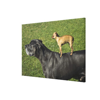 Chihuahua on Great Dane's back 2 Canvas Print
