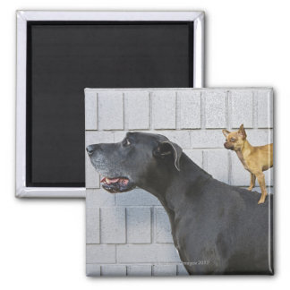 Chihuahua on Great Dane's back 2 Inch Square Magnet