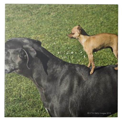 Chihuahua And Great Dane Mix Dog Breed | Dog Breeds Picture