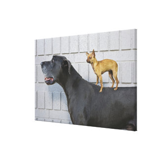 Chihuahua on Great Dane's back Canvas Print