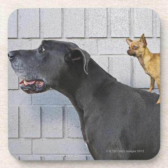 Chihuahua on Great Dane's back Drink Coaster