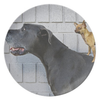 Chihuahua on Great Dane's back Plate