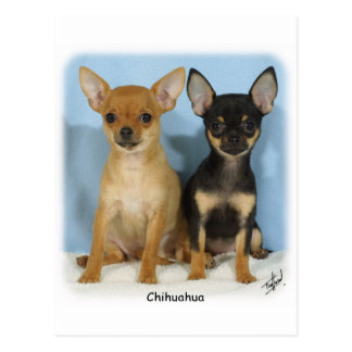 Chihuahua puppies 9W079D-011 Postcard