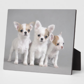 Chihuahua puppies plaque