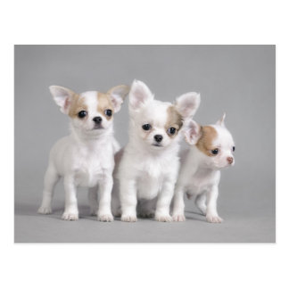 Chihuahua puppies postcard