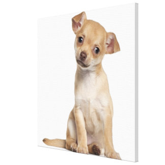 Chihuahua puppy (2 months old) canvas print