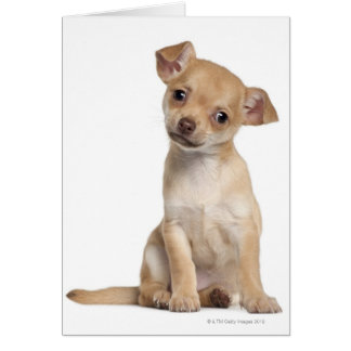 Chihuahua puppy (2 months old) card