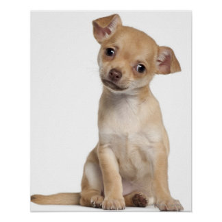 Chihuahua puppy (2 months old) poster