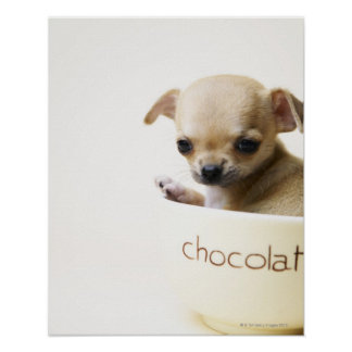 Chihuahua puppy in bowl (cropped) poster