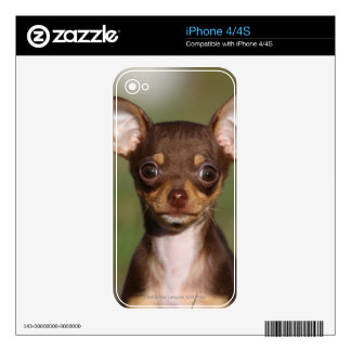 Chihuahua Puppy Looking at Camera Skins For iPhone 4