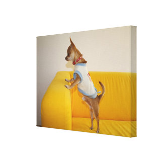 Chihuahua Puppy On Yellow Sofa Canvas Print