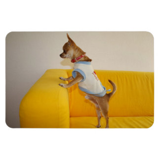 Chihuahua Puppy On Yellow Sofa Magnet