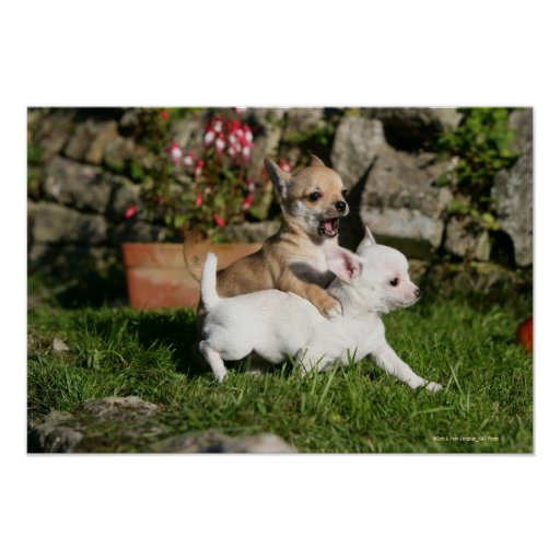 Chihuahua Puppy Playing Poster