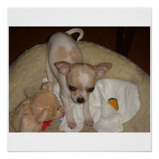 Chihuahua_puppy Poster