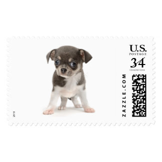 Chihuahua puppy standing of white background postage