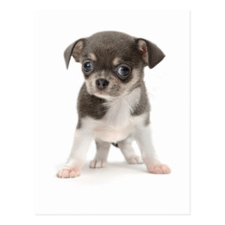 Chihuahua puppy standing of white background postcard