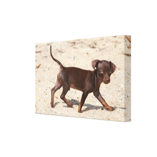 Chihuahua Puppy Walking Canvas Print