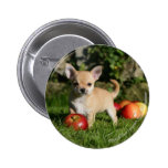 Chihuahua Puppy with Apples Button