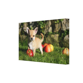 Chihuahua Puppy with Apples Canvas Print