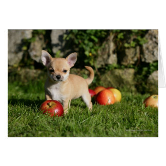 Chihuahua Puppy with Apples Card