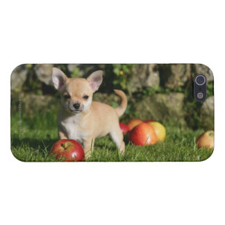 Chihuahua Puppy with Apples Case For iPhone SE/5/5s