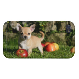 Chihuahua Puppy with Apples iPhone 4/4S Covers