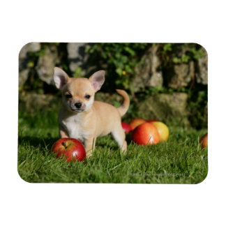 Chihuahua Puppy with Apples Magnet