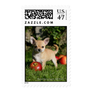 Chihuahua Puppy with Apples Postage