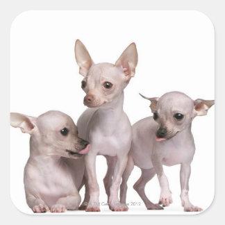 Chihuahua sin pelo (5 y 7 meses) calcomanía cuadrada personalizada