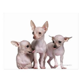 Chihuahua sin pelo (5 y 7 meses) tarjetas postales