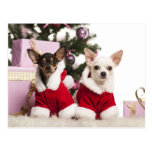 Chihuahua Sitting And Wearing A Christmas Suit Post Cards