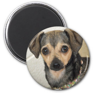 Chihuahua-Terrier Photo Magnets