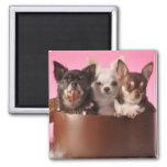 Chihuahua Trio Refrigerator Magnets